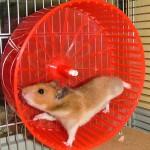 Akkurat som en på spinningsykkel, mener Jo. (Foto: www.hamsterforening.no)