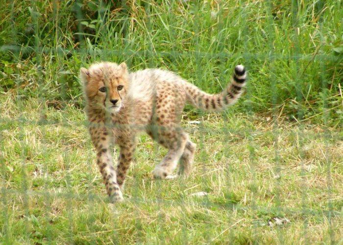 Parcdesfelins-chats-tigre-guepard-leopard (9)