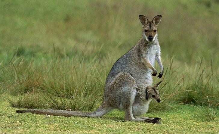 Wallpaper Kanguru dan ibunya HD unduh gratis   Wallpaperbetter