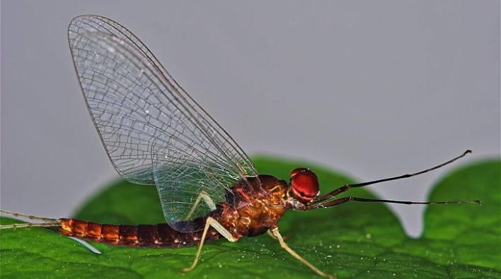 Hasil gambar untuk lalat capung hd