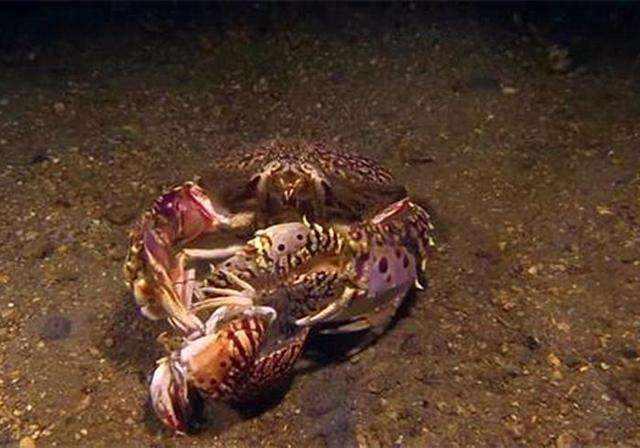動物界的老王:饅頭蟹,為什麼會抱走別人的老婆?