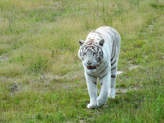parc-des-felins-nesle-seine-et-marne-lion-blanc-jaguar-guepard-tigre-lorike-bebe-lynx-lapin-elevage-reproduction (29)