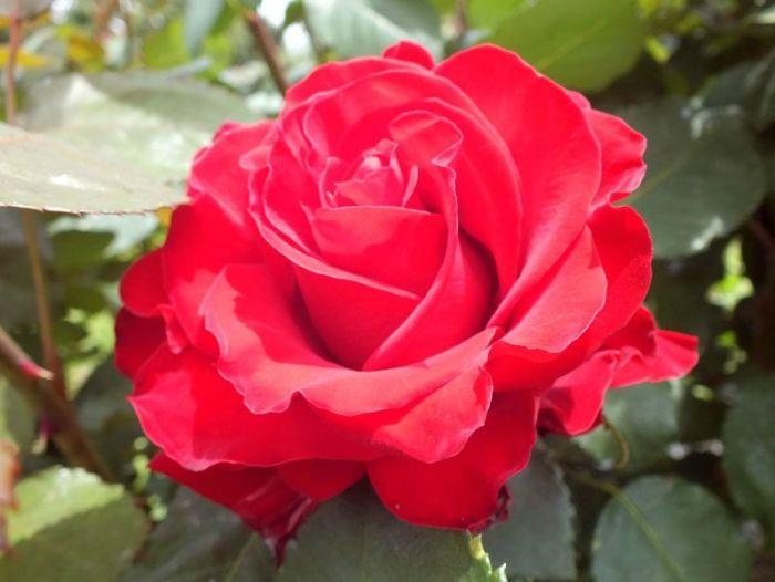 cueillette-fer-de-viltain-roses-oeillets-des-poetes-fraises-oignons-jaunes-groseilles-lys-courgettes-jus-de-pomme-verger (7)