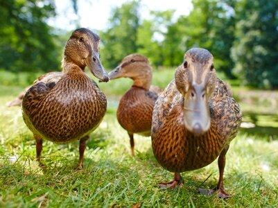 """Résultat de recherche d'images pour """"canards sauvages"""""""