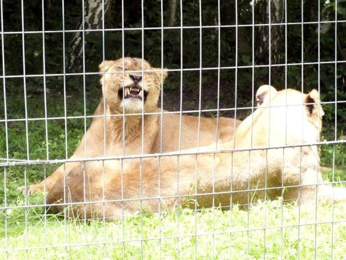 parc-des-felins-nesle-seine-et-marne-lion-blanc-jaguar-guepard-tigre-lorike-bebe-lynx-lapin-elevage-reproduction (19)