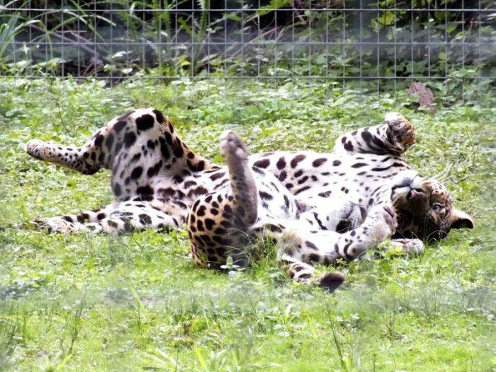 parc-des-felins-nesle-seine-et-marne-lion-blanc-jaguar-guepard-tigre-lorike-bebe-lynx-lapin-elevage-reproduction (4)