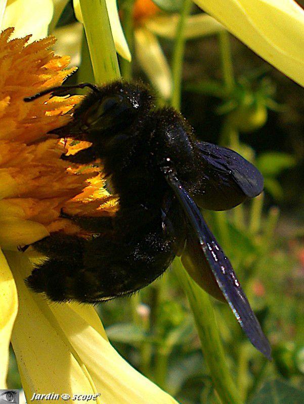 une impressionnante abeille solitaire noire le jardinoscope toute la vie animale de nos parcs et jardins