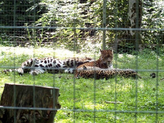 parc-des-felins-nesle-seine-et-marne-lion-blanc-jaguar-guepard-tigre-lorike-bebe-lynx-lapin-elevage-reproduction (8)