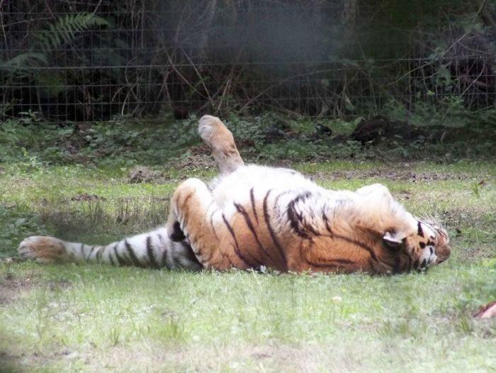 parc-des-felins-nesle-seine-et-marne-lion-blanc-jaguar-guepard-tigre-lorike-bebe-lynx-lapin-elevage-reproduction (20)