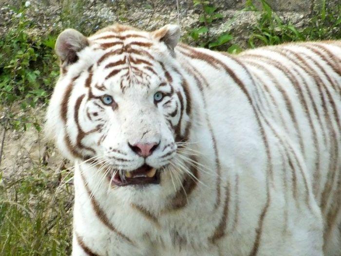 parc-des-felins-nesle-seine-et-marne-lion-blanc-jaguar-guepard-tigre-lorike-bebe-lynx-lapin-elevage-reproduction (27)