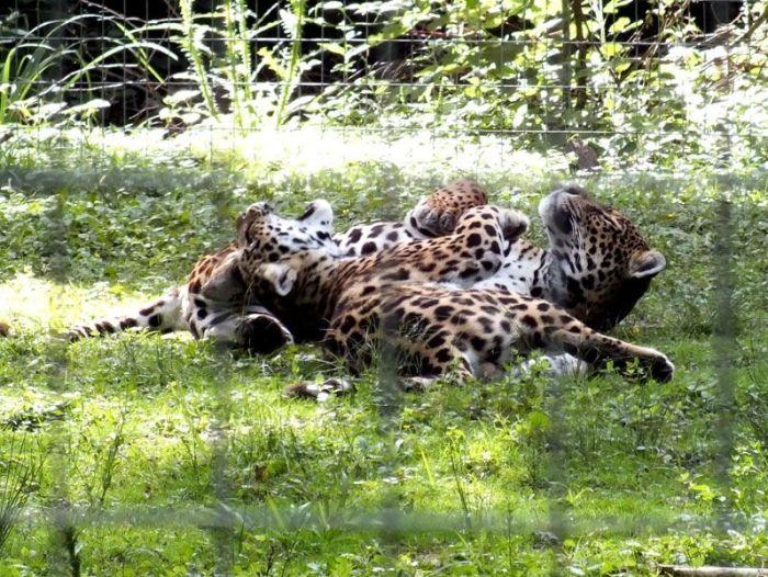 parc-des-felins-nesle-seine-et-marne-lion-blanc-jaguar-guepard-tigre-lorike-bebe-lynx-lapin-elevage-reproduction (3)