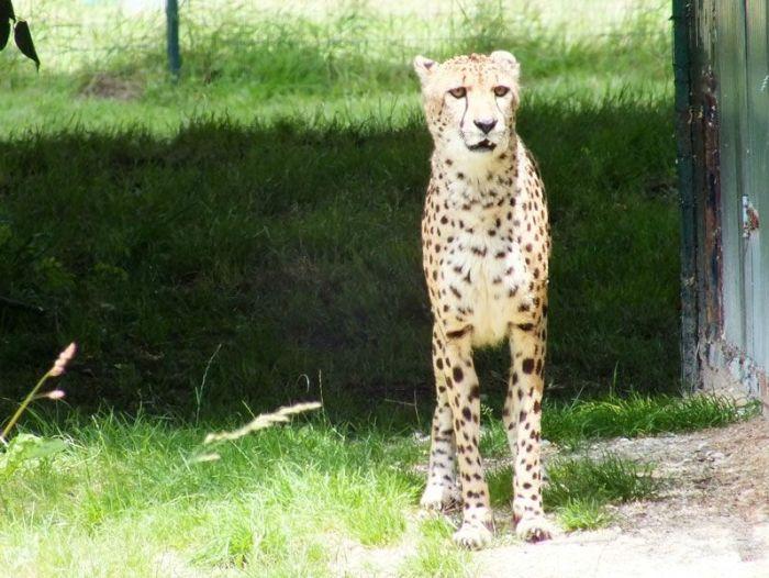 parc-des-felins-nesle-seine-et-marne-lion-blanc-jaguar-guepard-tigre-lorike-bebe-lynx-lapin-elevage-reproduction (14)