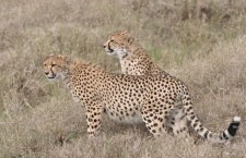 Cheetah eats Impala on the Ol Pejeta Conservancy