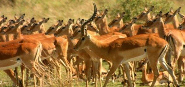 impala-with-harem