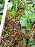 I området er der mange frøer. Det her er en brun frø. Det kan man se pga. aftegningerne og farven naturligvis.