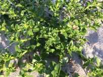 Plante: Strandarve - kan spises friske eller dampede..