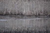 119a-01-2012 Eurasian Teal 01:17:2012 Newtown, Bucks Co. Mark Gallagher #2