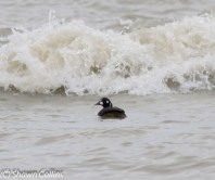 149-01-2012 Harlequin Duck Presque isle S.P., PA 01:08:2012, Shawn Collins #1