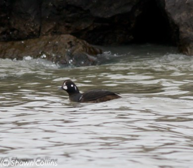 149-01-2012 Harlequin Duck Presque isle S.P., PA 01:08:2012, Shawn Collins #3