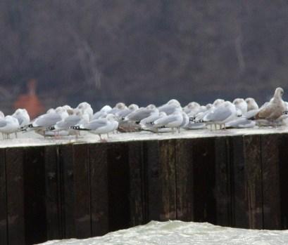 246-01-2012 California Gull 01:29:2012 PISP, Erie Co., J.McWilliams #1
