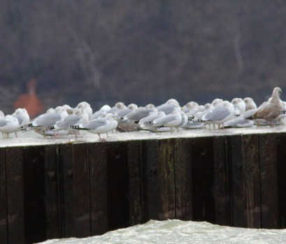 246-01-2012 California Gull 01:29:2012 PISP, Erie Co., J.McWilliams #1