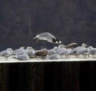 246-01-2012 California Gull 01:29:2012 PISP, Erie Co., J.McWilliams #3