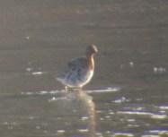 321-01-2012 Ruff 04:16:2012 Somerset Lake, Somerset Co., Mike Lanzone #3 copy