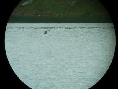 369-01-2012 Arctic Tern 05:22:2012 Elk State Park, Al Guarente #1