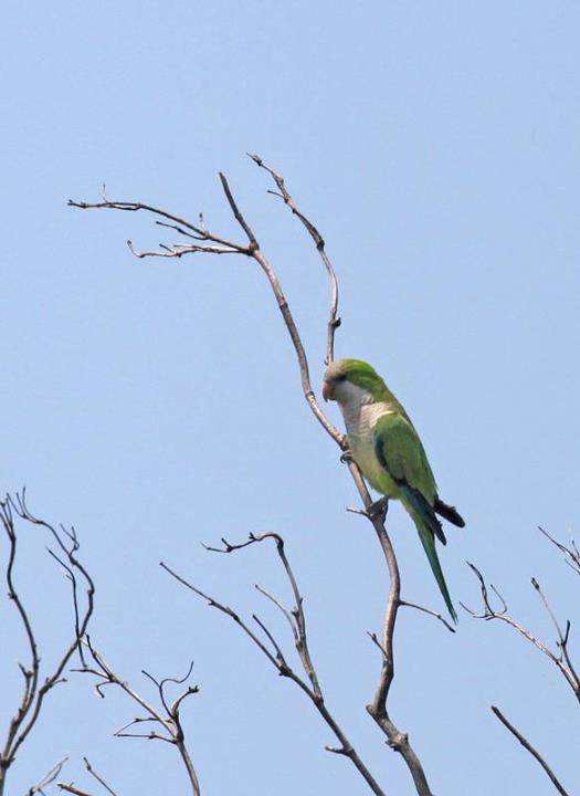 425-01-2012 Monk Parakeet #1 Allentown