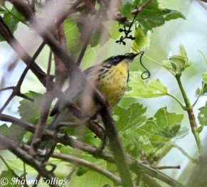 746-01-2012 Kirtland's Warbler 05:22:2012 Erie, Erie Co., Shawn Collins #3