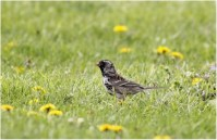 839-01-2012 Harris's Sparrow 04:17:2012 Howard, Centre Co., Alex Lamoreaux #2