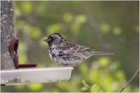 839-01-2012 Harris's Sparrow 04:17:2012 Howard, Centre Co., Alex Lamoreaux #3