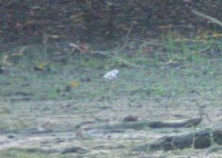 261-03-2012 Piping Plover
