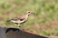 Northern Wheatear - Lickdale, Lebanon County (photo by Alex Lamoreaux)