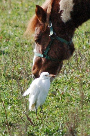 Cattle_Egret_1