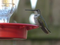 489-01-2012 Black-chinned hummingbird 2
