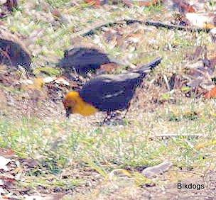 859-01-2012 Yellow-Headed Blackbird 11-28-2012 Bucks 2