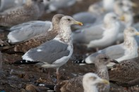 Vega Herring Gull 12-15-12 Bucks 2