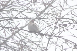 887-03-2013 Hoary Redpoll - Center1