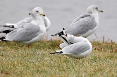 Gull_BlackHeaded_LakeArthurPA_20121202_1D4_0_47C0590M