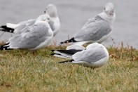 Gull_BlackHeaded_LakeArthurPA_20121202_1D4_0_47C0594M
