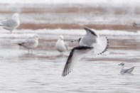 Kittiwake_BlackLegged_PresqueIslePA_20130324_1D4_4_E9H2849