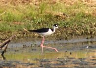 Black-necked Stilt 7-19-2013 Berks