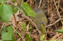 MacGillivray's Warbler Tom Johnson 2