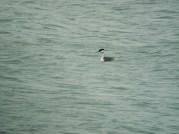 Western Grebe, Presque Isle 6-26-2013 (3)