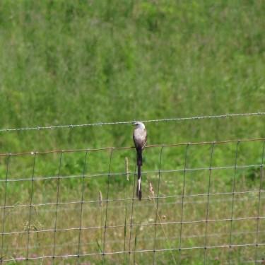Scissor-tailed Flycatcher 3