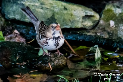 Harris Sparrow_11-23-2014_-15