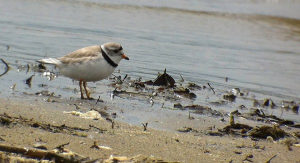Mary Birdsong 6-12-14 Piping Plover