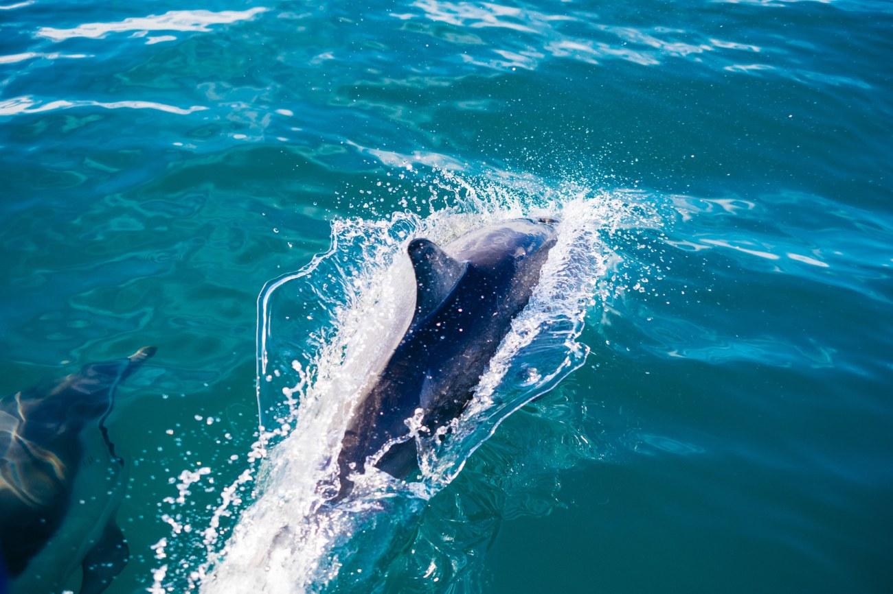 Neuseeland Delphine