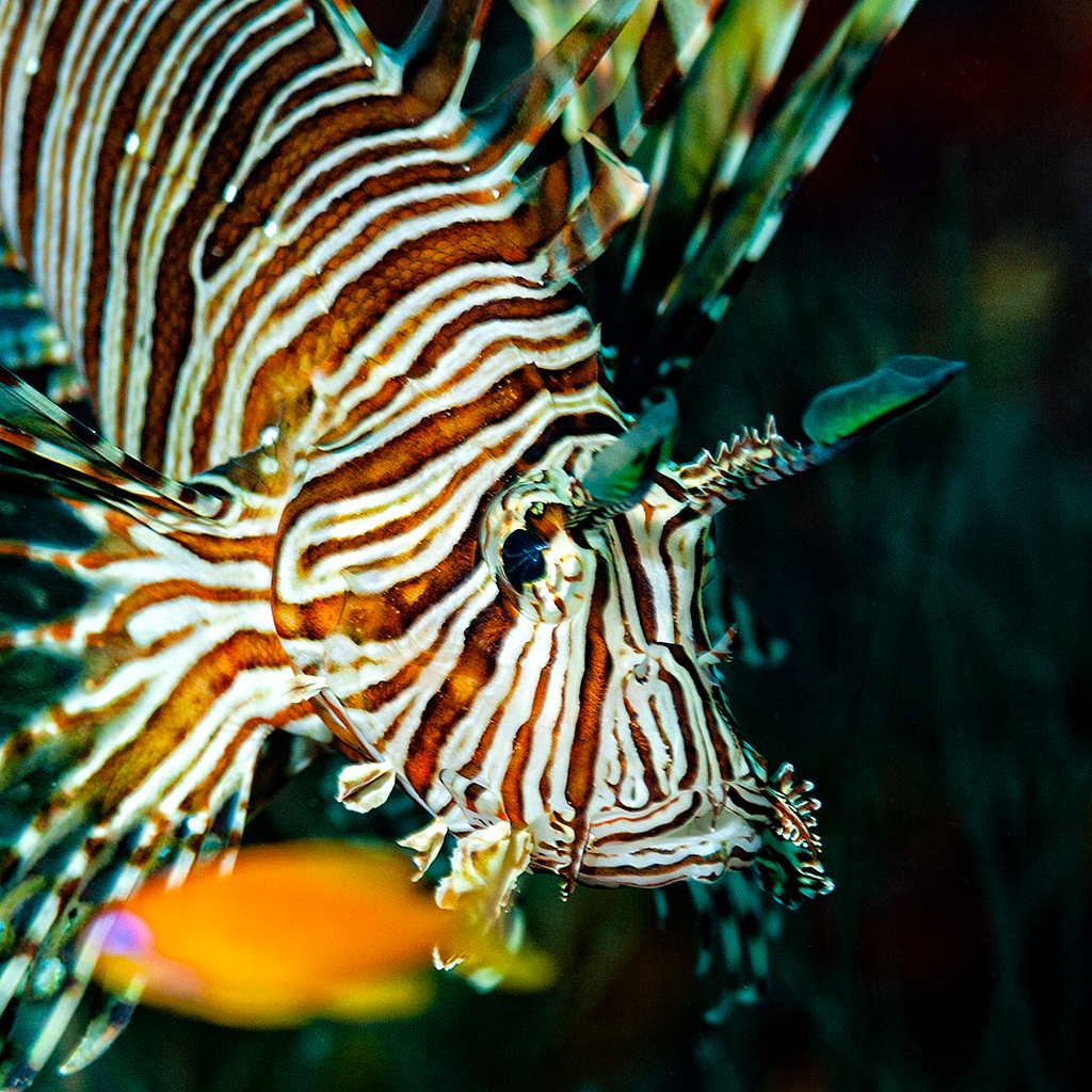 Maldivas Pterois Volitans acechando a un Anthias Anthias
